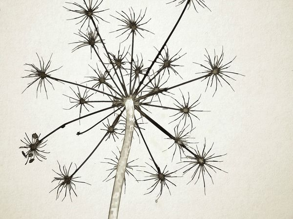 Cow Parsnip , hogweed Autumn Cow Parsnip Hogweed Nature No People Outdoors Plants And Flowers Seedhead
