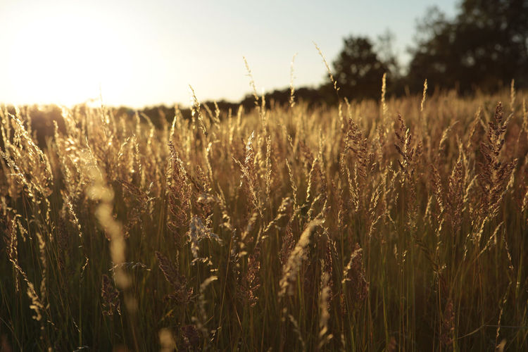 Growth Plant Field Land Landscape Tranquility Rural Scene Beauty In Nature Agriculture Crop  Cereal Plant Nature Sky Farm No People Environment Wheat Close-up Tranquil Scene Outdoors Stalk Lens Flare Sun Corn
