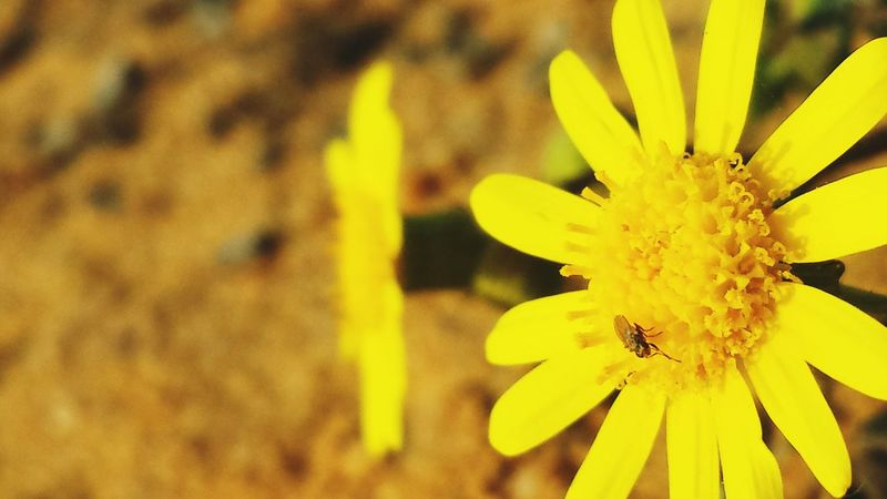 Galaxys4 Desert Plants 🌱 Outside Taking Photos Suny Yellow Sand Close-up Nature Flower Focus Yellow Flower Flower Head 6october Insect Fly