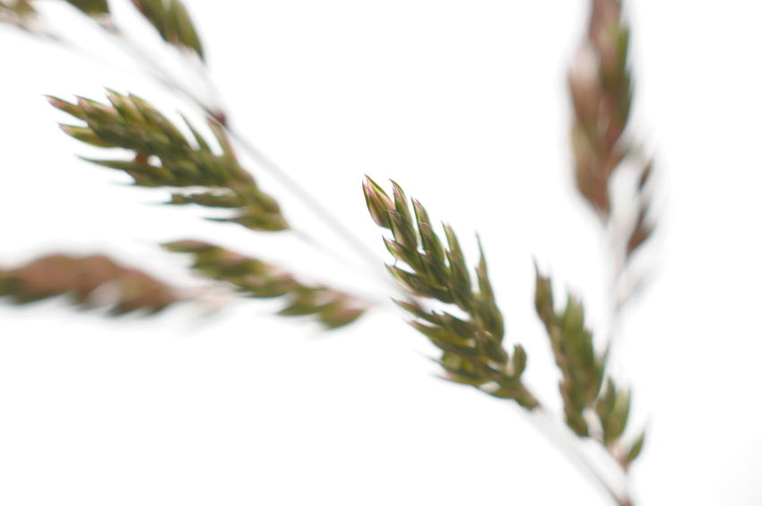 Grass #3 Neutral Background Blurry Grass Nature No People Outdoors Freshness Close-up Beauty In Nature Selective Focus Plant