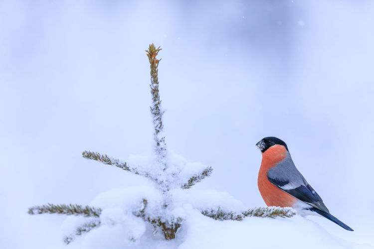 Bull finch in winter snow sitting in the top of a tree Winter Snow Cold Temperature Animals In The Wild Animal Wildlife Bird Nature Animal Themes Animal Vertebrate No People Day Beauty In Nature Outdoors Focus On Foreground Frozen Covering Perching Tree Bull Finch Red Bird Tree Sweden Beauty In Nature