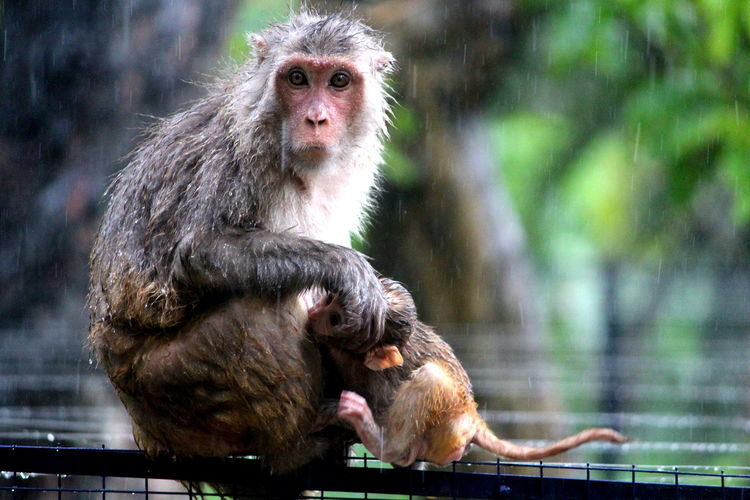 Portrait Of Monkeys In Rain
