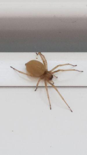 Spider Semi-translucent