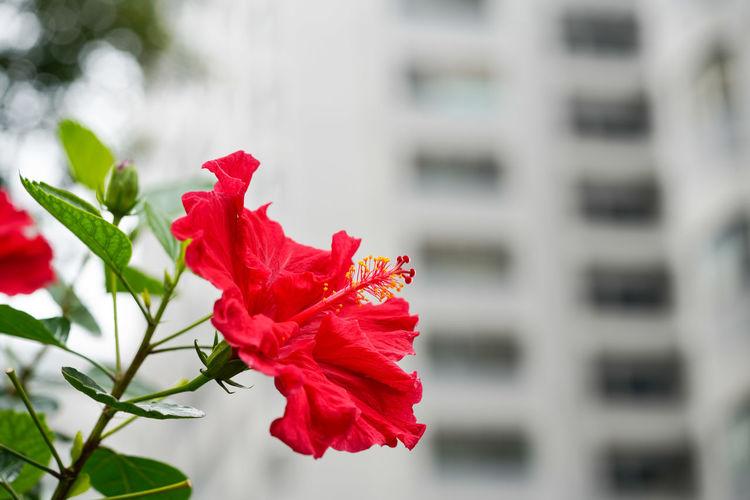 朱槿 Flower Head