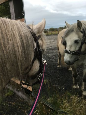 Vrackie seeing himself in mirror for first time 😍 Horse Vrackie Highland Pony