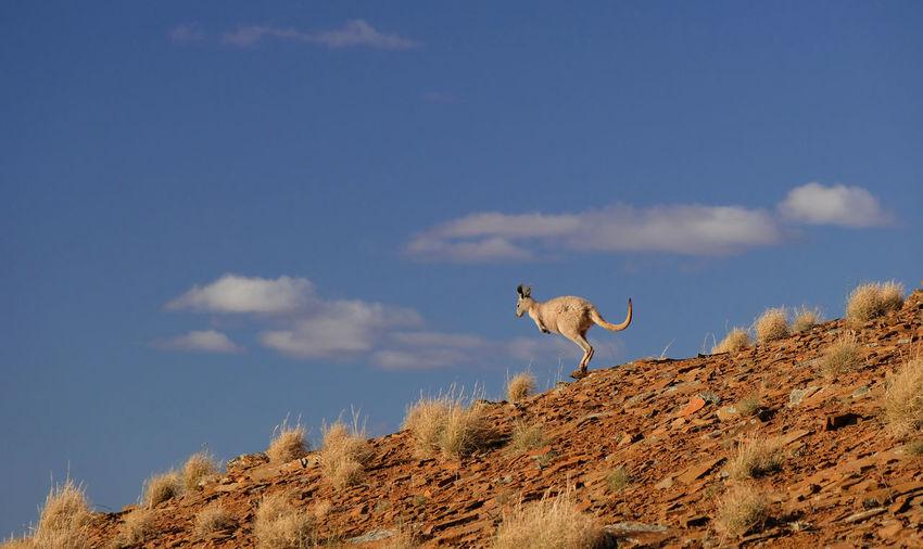 Kangaroo Slope Hillside Desert Wildlife Sky Animal Themes Cloud - Sky Animals In The Wild One Animal No People Mammal Low Angle View South Australia Flinders Ranges