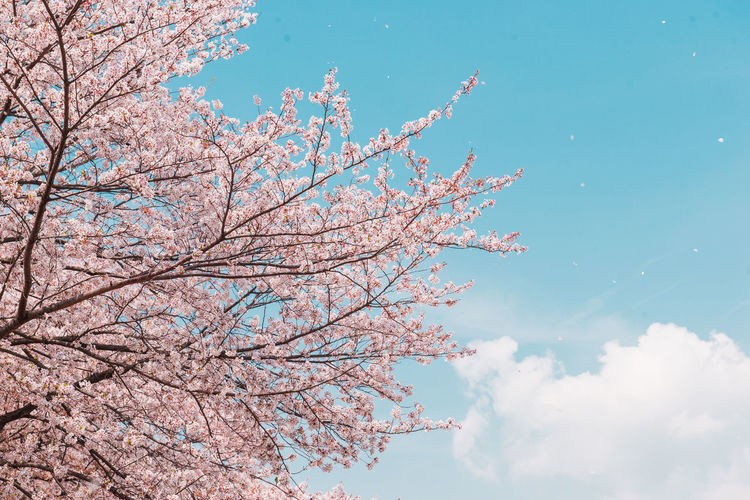 Pink Cherry blossom or sakura flower with blue sky in spring season at Japan Tree Sky Plant Branch Flower Flowering Plant Beauty In Nature Nature Low Angle View Cloud - Sky Growth Day Pink Color Cherry Blossom Springtime Blossom No People Blue Freshness Tranquility Outdoors Cherry Tree Spring Sakura Sakura Blossom Travel Cherry Blossom Hanami