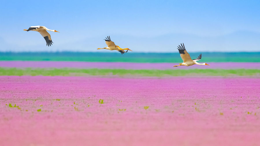 白鹤一家 Bird Flamingo Flying Mid-air Motion Spread Wings Sky