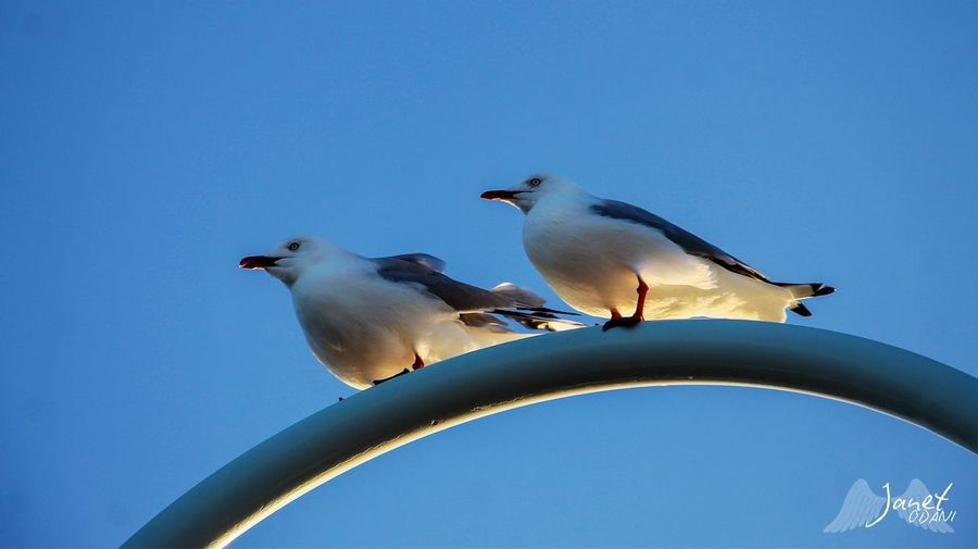 Low angle view of seagulls perching against clear blue sky