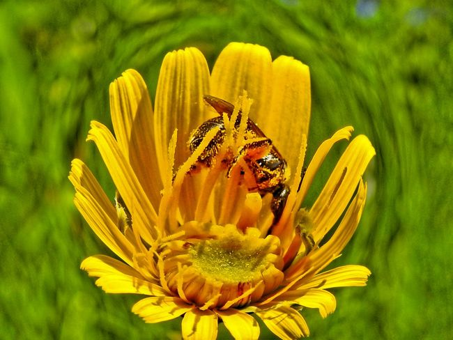 Animal Themes Animal Wildlife Animals In The Wild Beauty In Nature Bee Close-up Day Flower Flower Head Focus On Foreground Fragility Freshness Green Color Growth Insect Nature No People One Animal Outdoors Petal Plant Pollen Pollination Wildlife Yellow