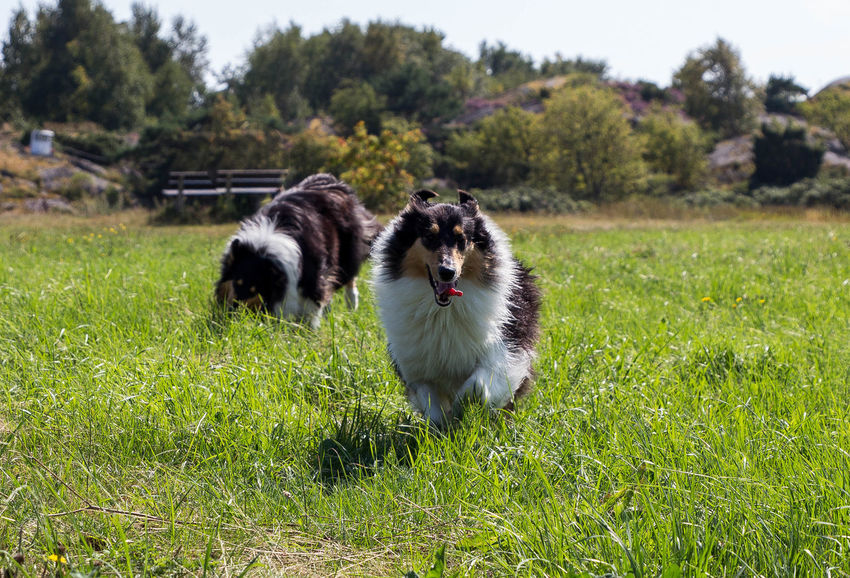 Molly and Kendza are sisters, They are so sweet to each other, and I LOVE them so much. Here we was walking by the sea, just outside Gothenburg. Collie Collies Dog Doglover Dogs Free Spirit Havingfun Lassie Love Love Is Not Just A Verb, It's You Looking In The Mirror Love Lovely Sun Sun-On-A-Stick Animal_collection Happiness Animal Themes Collie #roughcollie #photooftheday #cute #dogsofinstagram #bordercollie #igers #poser #saturday #happiness #dogstagram #bluemerle #dog #welshcollie #lovedogs #bordercollies #ig #igdaily #potd #picoftheday #happy #love Playing Playtime Happy Time Pets Running Time Runrunrun Sisters ❤