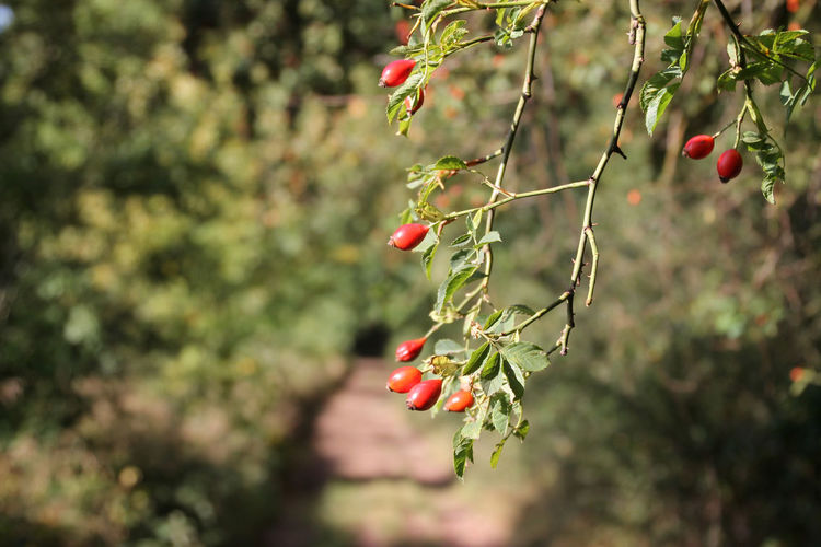 Forest Path Beauty In Nature Branch Close-up Day Focus On Foreground Freshness Fruit Green Color Growing Growth Hagebutten Hanging Nature No People Outdoors Plant Red Rose Hip Tree