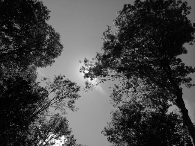 Tree Low Angle View Silhouette Nature No People Sky Outdoors Growth Beauty In Nature Branch Day Pixelated Black&white Blackandwhite Photography Blacckandwhite Eyeemphonephotography Phonephotography📱 Beauty In Nature Low Angle View Forest Outdoors Photograpghy  Nature Tree