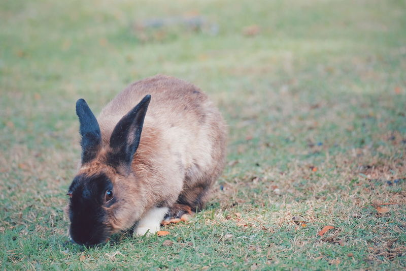 A black-faced rabbit is on the field
