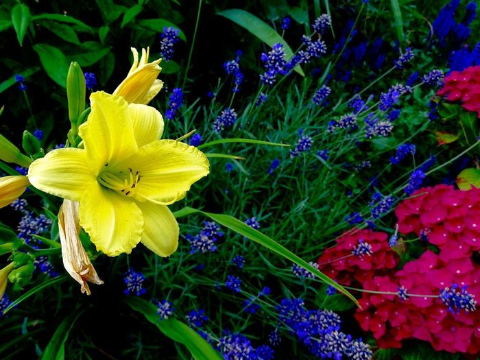 Day lily and