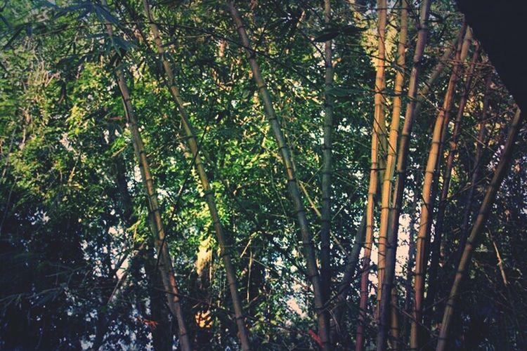 Bamboos. Nature Naturelover Pangkor