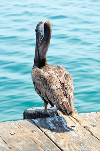 Pelican at the pier Animal Themes Animal Wildlife Animals In The Wild Bird California Day Nature No People Ocean One Animal Outdoors Pelican Perching Pier USA