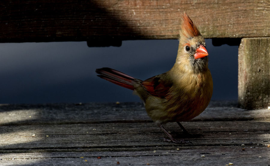 Female on the deck Northern Cardinal Female Tufts Animal Themes Animals In The Wild Bird Close-up Day Deck Deep Shade Female Bird Nature No People One Animal Outdoors Perching Plume Shadows Shafts Of Light Wood - Material