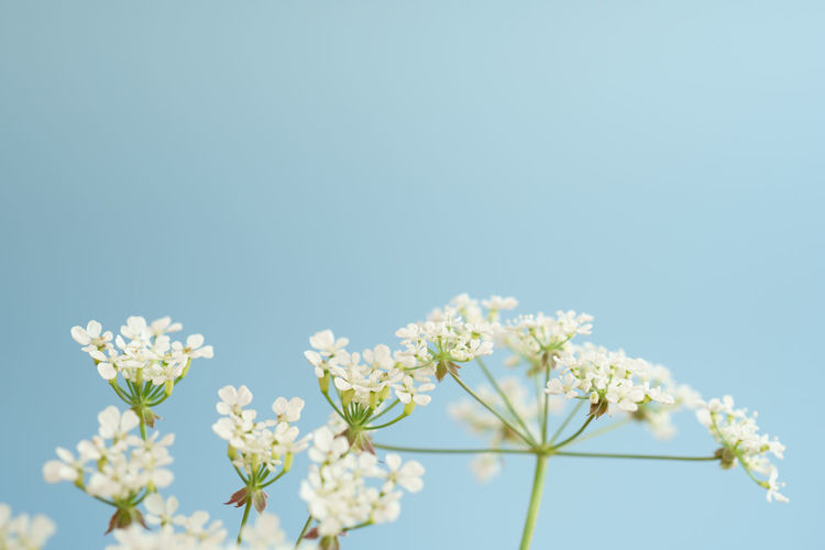Cow Parsley 1 Copy Space Cow Parsley Beauty In Nature Blue Blue Background Blue Sky Close-up Copy Space Day Delicate Flower Flower Head Flowering Plant Fragility Freshness Growth Low Angle View Nature No People Outdoors Plant Sky Vulnerability  White Color White Flower