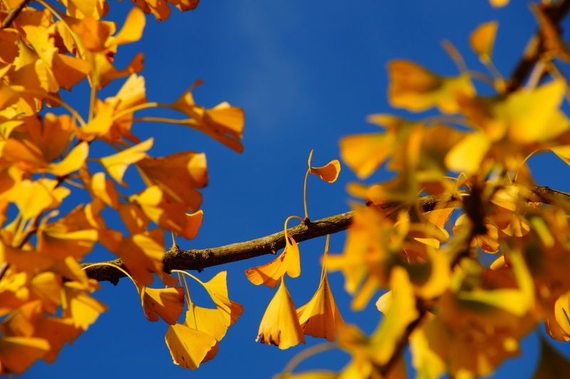 Low angle view of ginkgo tree during autumn
