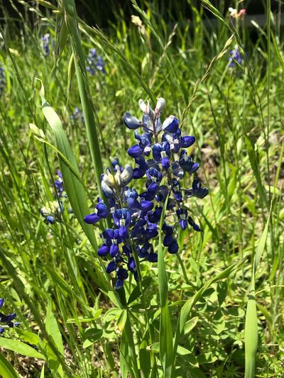 Bluebonnets in Texas. Hello spring Spring In Texas Texas State Flower Bluebonnet Plant Growth Beauty In Nature Flower Flowering Plant Green Color Nature