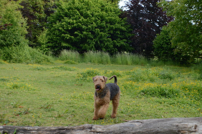 Airedale Airedales Airedaleterrier Animal Themes Day Field Flower Grass Jumping No People One Animal Outdoors Springen