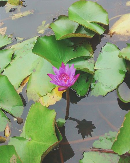 Colors And Patterns Leaf Flower Water Lily Pond Water Floating On Water Fragility Freshness Lotus Water Lily Green Color Single Flower High Angle View Flower Head Petal Growth Nature Beauty In Nature Pink Lily Pad Growing