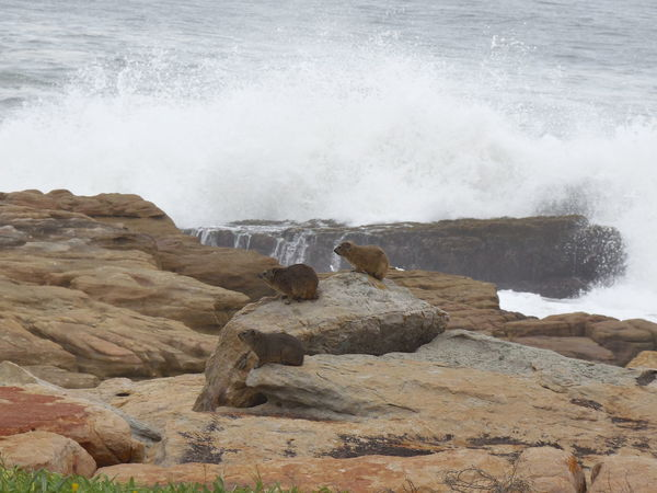 Dassie Rock Hyrax Waves, Ocean, Nature