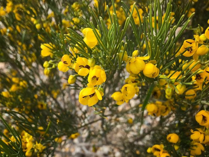 Close up of tiny yellow flowers Yellow Flower Nature Plant Growth Beauty In Nature Outdoors Close-up No People Flower Head Freshness Petal Day Fragility