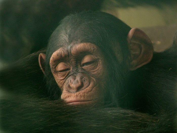 Close-up of chimpanzee relaxing