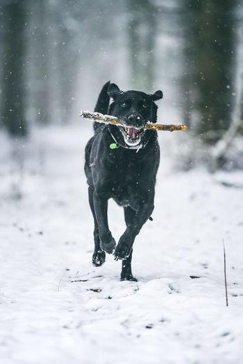 Black dog running in snow