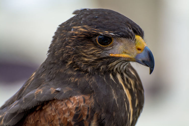 Animal Body Part Animal Head  Animal Themes Beak Beauty In Nature Bird Bird Of Prey Brown Close-up Day Falcon Feathers Focus On Foreground Looking Away Nature No People Outdoors Portrait Quiet Wildlife