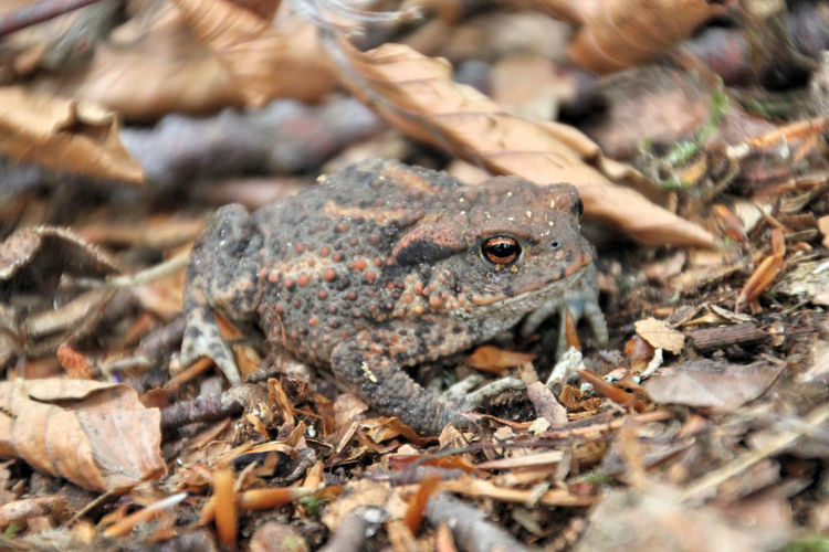 common toad bufo bufo Bufo Bufo Animal Themes Animals In The Wild Camouflage Camouflage Animals Camouflaged Color Camouflaged Insect Close-up Common Toad Day Nature No People One Animal Outdoors