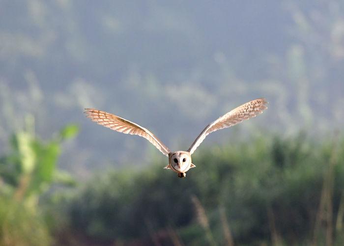 Portrait of beautiful barn owl flying