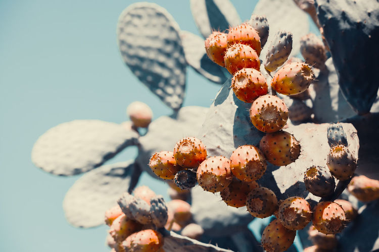 Close-up of prickly pear cactus fruits growing on plant against sky