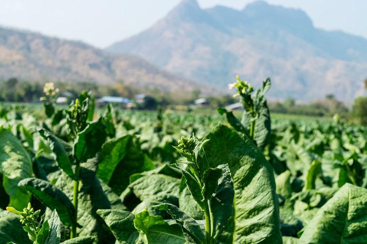 Tobacco flower