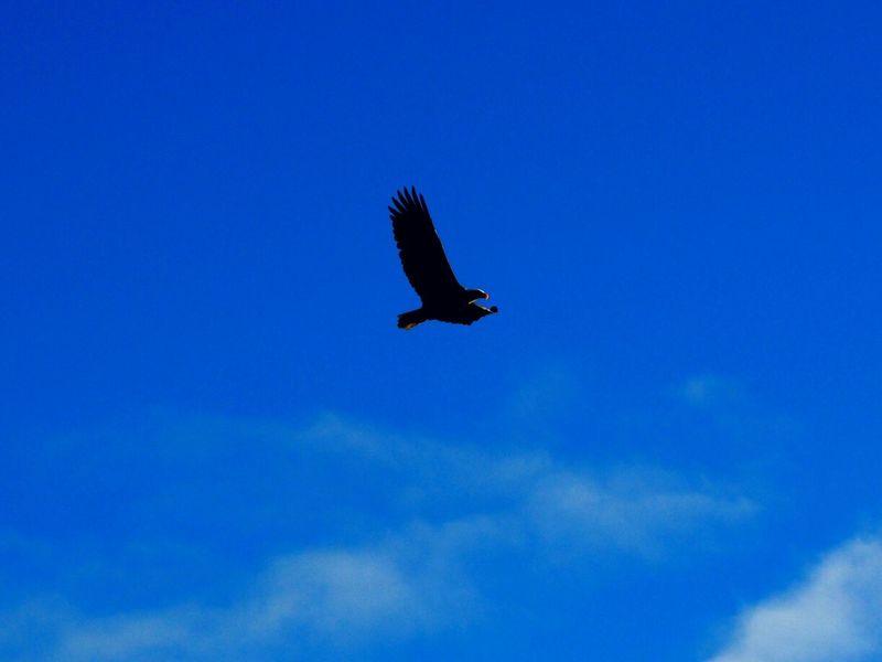 Soaring Birds SoaringEagle Soaring Up Above Blue Skies Bird In Flight Eagle EaglesNATION Birds Of Prey