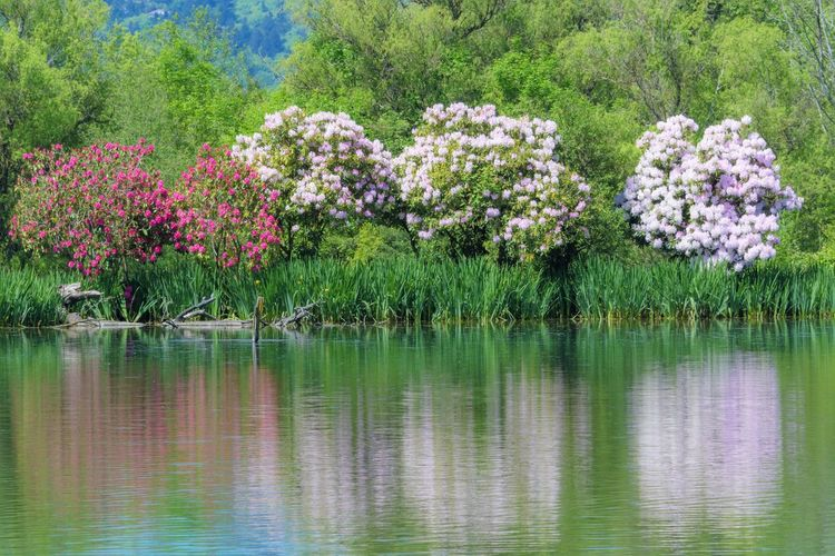 Plant Flower Flowering Plant Beauty In Nature Water Nature Lake Reflection Pink Color Tranquility Tree Day Freshness Tranquil Scene No People Green Color Outdoors Growth Scenics - Nature Ornamental Garden Purple