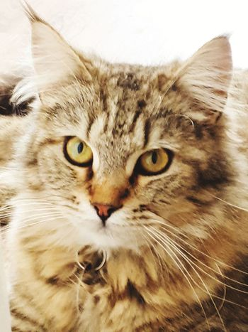 Cat Cats Of EyeEm Cats EyeEm Selects EyeEm Best Shots EyeEm Nature Lover Different Eye Color EyeEm Gallery EyeEmNewHere Pets Portrait Feline Domestic Cat Looking At Camera Persian Cat  Whisker Maine Coon Cat Close-up Yellow Eyes Tabby At Home Adult Animal Vertebrate Zoology Pampered Pets Bird Of Prey Home Pet Bed Ginger Cat