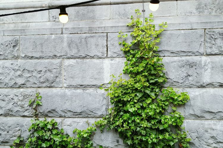 Wall - Building Feature Plant Day Ivy Outdoors Growth Architecture Creeper No People Built Structure Green Color Building Exterior Nature Close-up Garden Lights Wall Muro  pianta Pianta Verde Edera