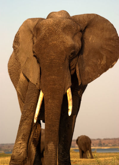 BOTSWANA Chobe Africa African Elephant Animal Themes Animal Trunk Animals In The Wild Beauty In Nature Day Mammal Nature No People Outdoors Safari Safari Animals Standing Travel Destinations Tusk Wildlife