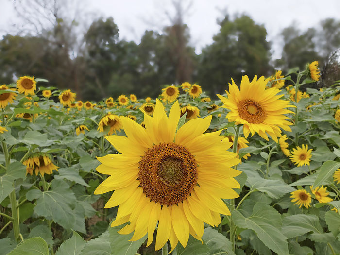 Flower Yellow Flower Head Petal Inflorescence Sunflower Day Beauty In Nature Plant