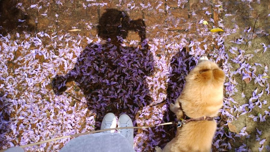 Low Section Of Woman And German Spitz On Field With Petals