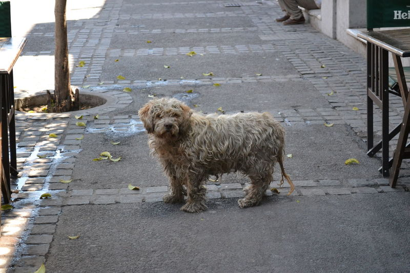 Animal Animal Hair Animal Themes Day Dirty Doggie Dirty Dogs Dog Domestic Animals Footpath Full Length Looking At Camera Loyalty Mammal No People One Animal Outdoors Pampered Pets Pets Sidewalk Standing Stray Dog Straydog Street Zoology