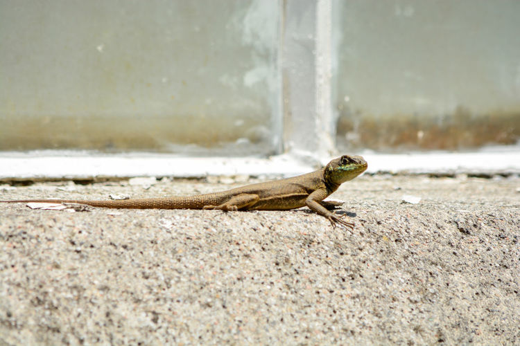 Close-up of lizard on rock against wall