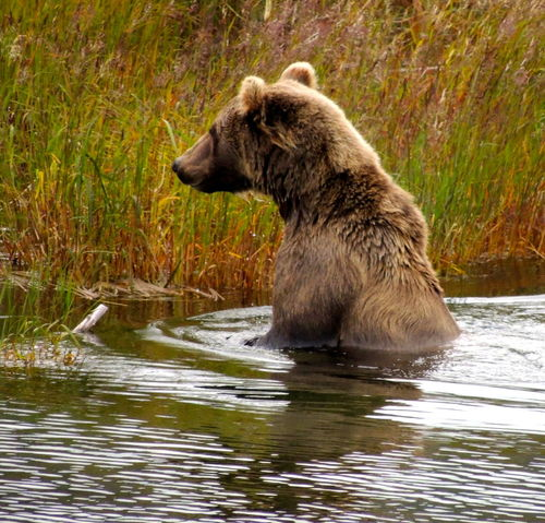 Back In 2012 Kat Mai Park Alaskan Brown Bears Animals In The Wild Been There, Done That Grizzly Bear