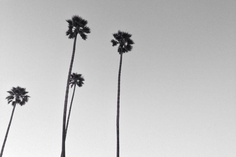Palm Trees at Pimo Beach