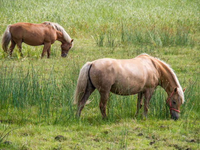 two horses Country Horses Olympus Animal Themes Animals Country Life Day Domestic Animals Edithnerophotography Field Full Length Grass Grazing Green Color Horse Horses Photography Livestock Mammal Nature No People Outdoors Standing Togetherness Young Animal