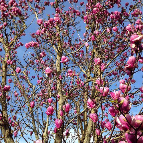 Flowers Magnolia Trees Flowerporn Flower Collection Iloveflowers Taking Photos Enjoying Life Hello World Beautiful Nature