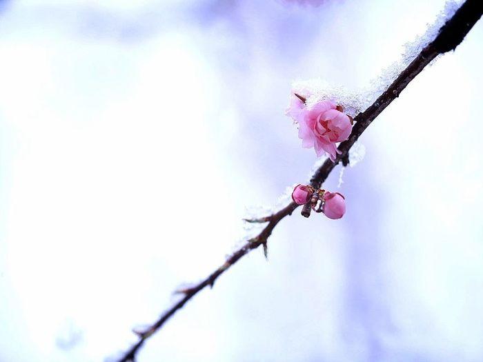 春の雪 Spring Pink Hope Snow Day